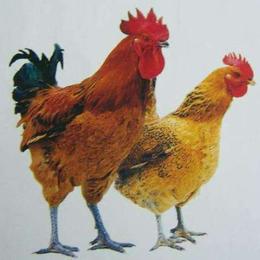 鲜农同城 麻鸡