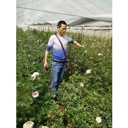 供应2-3年生玫瑰苗老桩月季老桩工程绿化盆栽观花植物缩略图