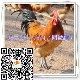 韩城土鸡苗价钱厂家香鸡
