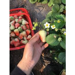 乾纳瑞农业,草莓苗,艳丽草莓苗价格