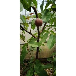 供应厂家直销新品种红仁核桃苗当年见果产量高