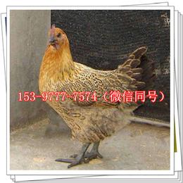 延长土鸡苗公司价格母鸡
