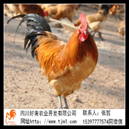 哈尔滨快大型鸡苗厂家的价格