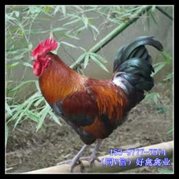 宁夏红羽鸡苗价钱怎么卖