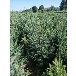 卖云杉-甘肃云杉密植密冠定值云杉-2米3米