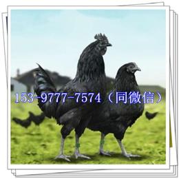 渝北出壳鸡苗品种批发黑鸡