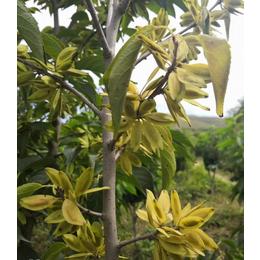 植物黄金 杜仲产业前景巨大 杜仲种子价格