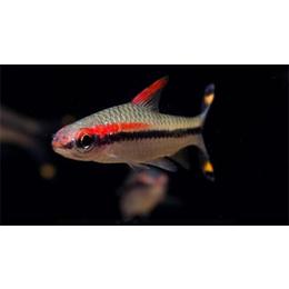 中国观赏鱼,庆祥伟业招商