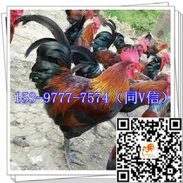 洛川鸡苗公司 出售麻羽