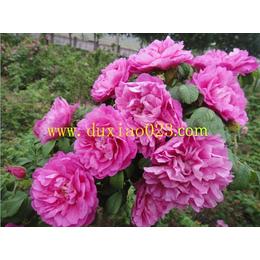 杜氏花卉供应嫁接杯苗高20公分浓香观花食用玫瑰苗丰花一号缩略图