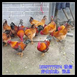 广西土鸡苗多少钱出售养殖户