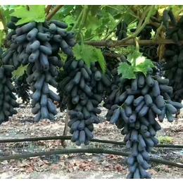甜蜜蓝宝石葡萄苗吉林嫁接葡萄苗新品种