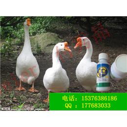 养鹅益生菌鹅调节肠道降低氨臭益生菌