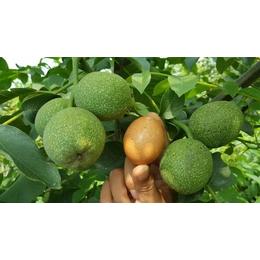 核桃树 核桃树苗薄皮核桃苗 核桃苗价格  早实矮化核桃树