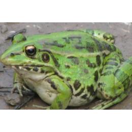 明嘉农业生态黑斑蛙蛋白质含量高具有清热解毒消肿止痛的****