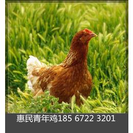 60天海兰灰蛋鸡青年鸡