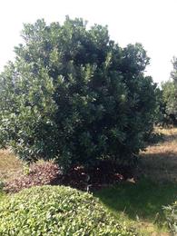 杨梅树多少钱一颗-绿林苗木苗圃直销价-安徽杨梅树