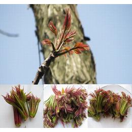 供应河南红香椿种子和树苗 一级新产良种价格