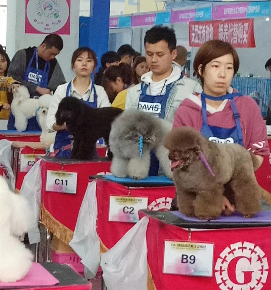 恭喜创美CB级学院曾璜顺利通过武汉NGKC宠物美容师资格检定大赛B级组和长沙CKU宠物美容资格鉴定大赛C级组的考试