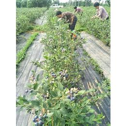 蓝莓苗_快繁蓝莓苗_柏源农业科技公司(优质商家)