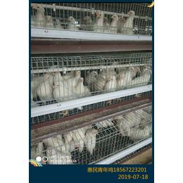 农大3号蛋鸡产蛋率 60天农大3号蛋鸡青年鸡成本