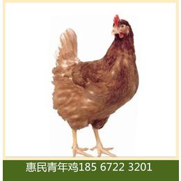 供应60-120天海兰褐青年鸡