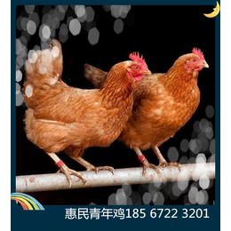 鹤壁海兰褐青年鸡厂家