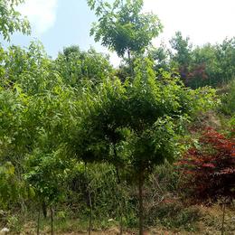 舜枫园林(图)-猩红栎修剪-四川猩红栎