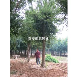 河北供应15cm五角枫-景区苏家苗圃-供应15cm五角枫价格