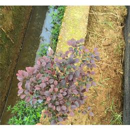 宁夏红花继木-绿林苗木量大从优-红花继木供应基地