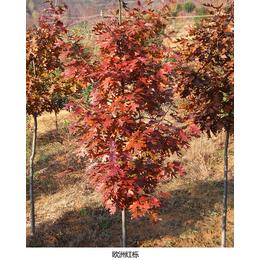 红栎苗-日照舜枫农林-红栎苗木出售