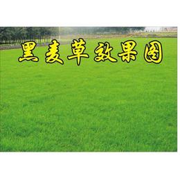 批发种子 供应进口黑麦草种子 狗牙根种子价格 高羊茅种子公司