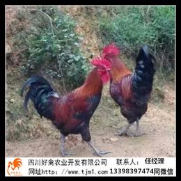 贵州血毛土鸡苗生产基地的价格公苗