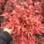 火焰南天竹常绿灌木-湖北火焰南天竹-泰安东枫园林(图)缩略图1