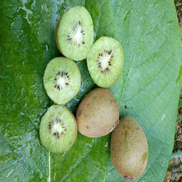野生猕猴桃价格 野生猕猴桃批发 纯野生