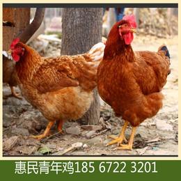 惠民青年鸡告诉你海兰褐青年鸡产蛋率上升慢原因