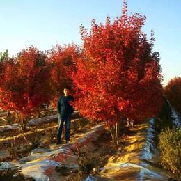 丛生红点红枫应用广泛-丛生红点红枫-泰安东枫园林(图)