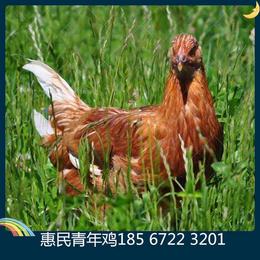海兰褐青年鸡养殖必看 选择海兰褐青年鸡厂家技巧