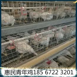 惠民青年鸡养殖中心罗曼灰青年鸡价格公道童叟无欺